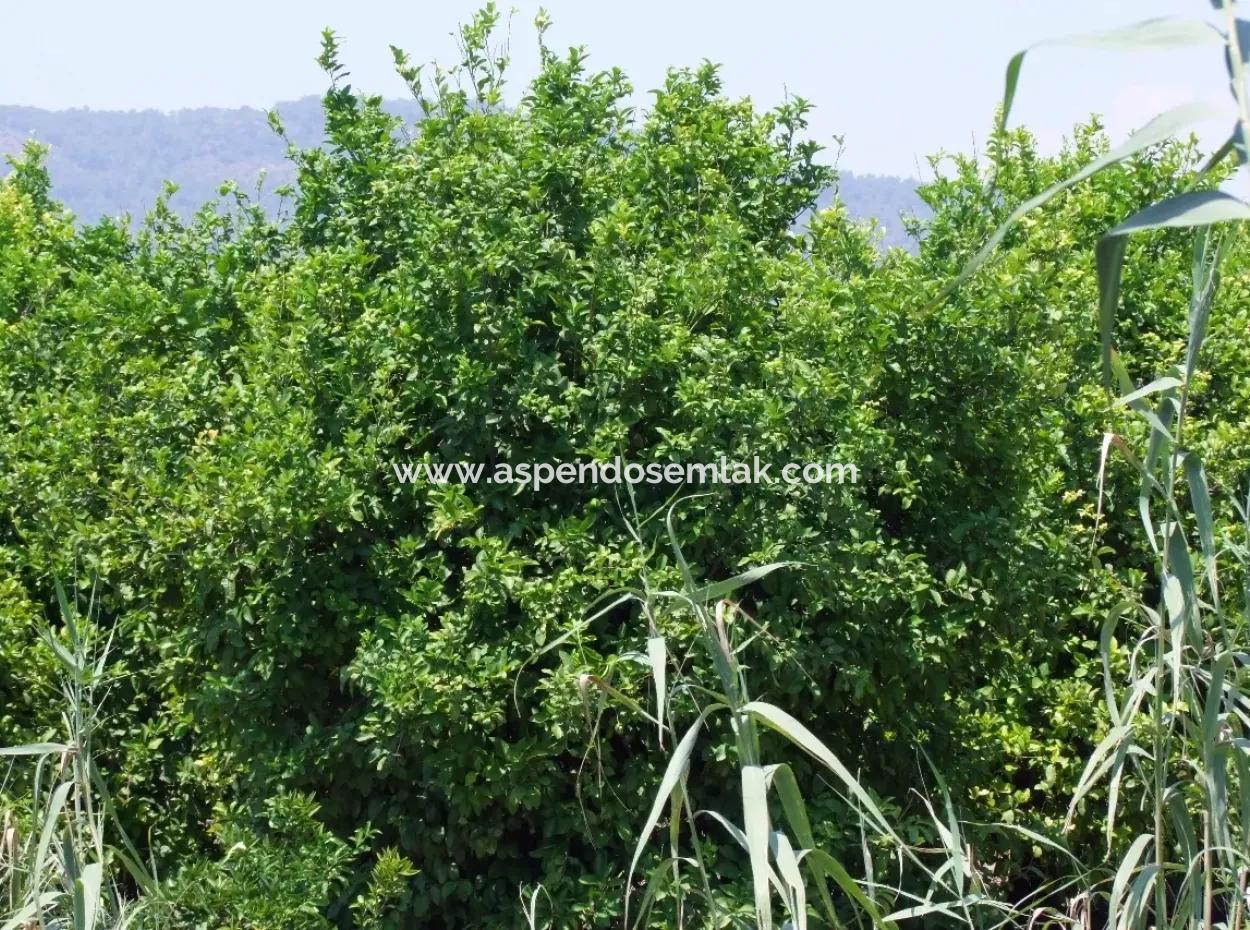 Zitrone Garten Zum Verkauf In Sarigerme, Oriya Oriya Null-Weg 83,670M2 Zum Verkauf In Hof Und Garten
