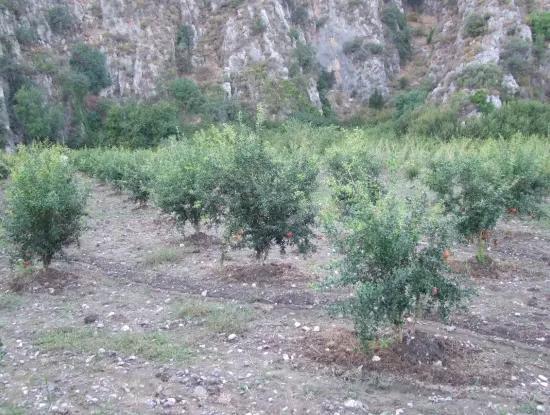Grundstück Zum Verkauf Granatapfel Garten Zum Verkauf In Oriya Mergenli Mergenli