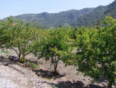 Granatapfel-Garten In Dalyan Zu Verkaufen: 5,000M2 Landwirtschaftliche Grundstück Zum Verkauf Zu Einem Günstigen