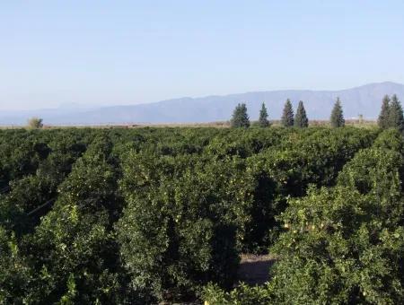 Tepearasında Satılık Bahçe Ortaca Tepearasında 65,000M2 Satılık Partakal Bahçe