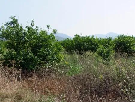 Ekşiliyurtda Satılık Limon Bahçesi Ortaca Ekşiliyurt'Da Satılık 16,160M2 Limon Bahçesi